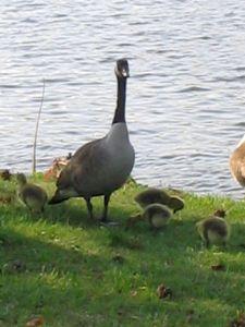 Canadian Goose, goslings, Fletcher Lake, Ocean Grove,