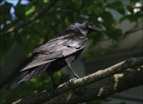 black bird, grackle