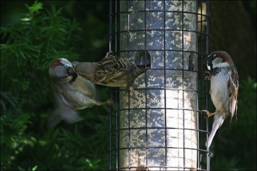 Bird Feeder Fight, sparrows