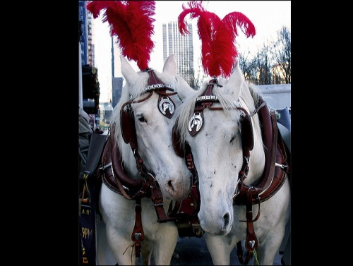 Red plumes, white horses, Central Park carriage horses