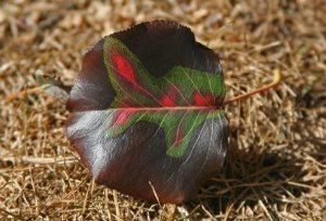Red and green leaf, autumn leaf, Ocean Grove NJ,