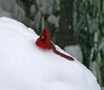Central Park in the snow, cardinal, red cardinal