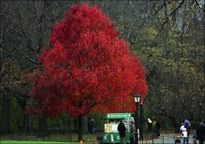 autumn, fall, red maple, Central Park, New York City,
