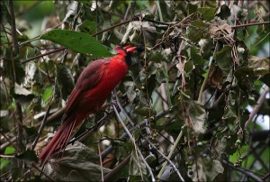 Central Park,Murray Head, cardinal, berries