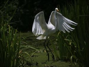 white egret, central park, Murray Head, egret wing span