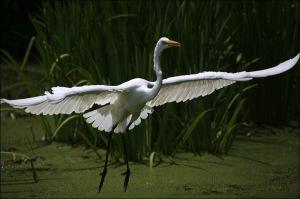 Central park pond, egret in flight, white egret
