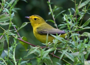 central park, Murray Head, yellow warbler