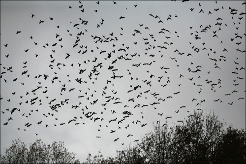 grackles, starlings, flocks, Central Park, Murray Head
