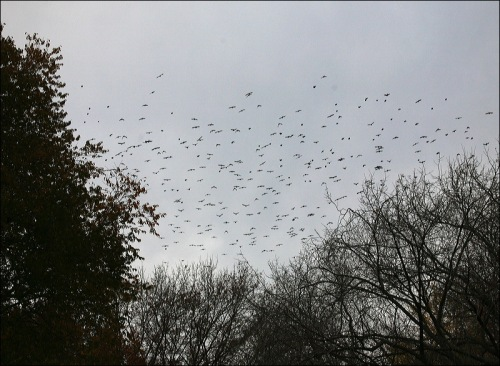 grackles, starlings, flock,Murray Head, Central Park