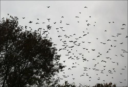 flocks, central park, Murray Head, grackles, starlings