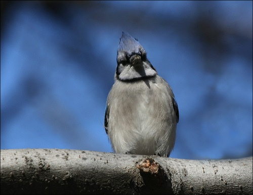 Blue Jay, blue sky, Central park, New York city, Murray head