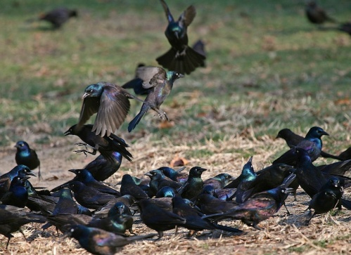 flock of grackles, Central Park, Murray Head