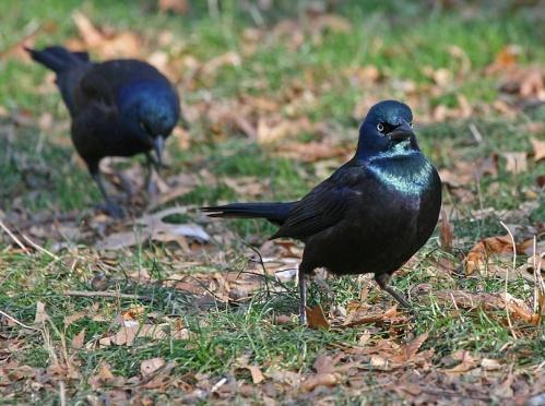 two grackles, Central Park,