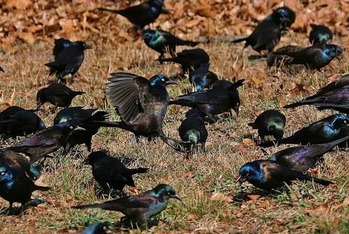 flock of grackles, Central park