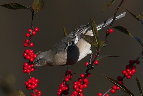 RED, berries, bird, Central Park, New York city, Murray Head