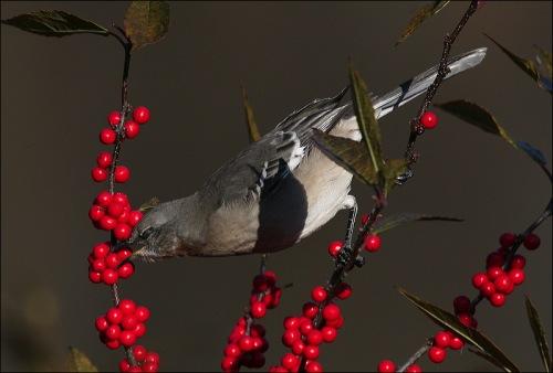 RED, berries, bird, Central Park, New York city, Murray Head
