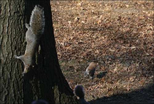 gray squirrel, Central Park, New york city