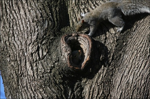 squirrel hole, tree, Central Park, gray squirrel