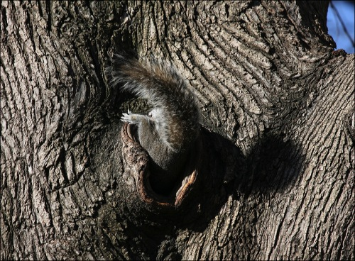 squirrel nest in tree, Central Park