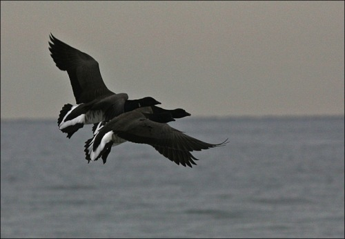 Brant geese, Ocean Grove, Christmas morning