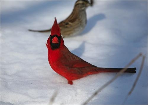 Central Park, NYC, Murray Head, cardinal, snow storm