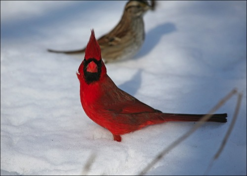 Central Park, NYC, Murray Head, cardinal, snow storm