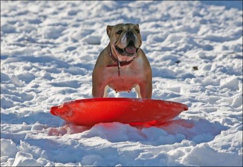bull dog, snow storm Central Park New York city, Murray head, snow saucer