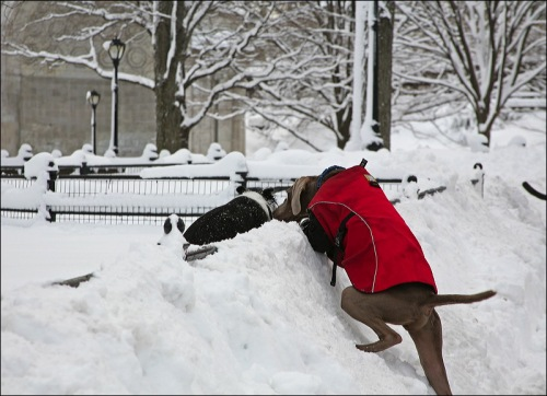 escape, going over the wall, Central Park, New York city, red coat doggie, snow storm
