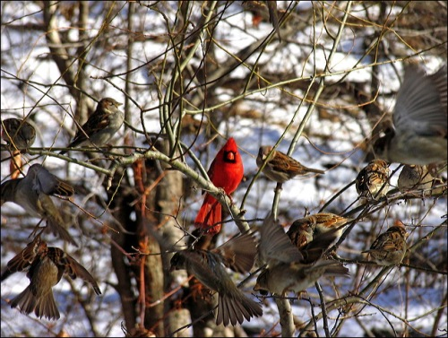 cardinal, sparrows, Central Park,winter birds