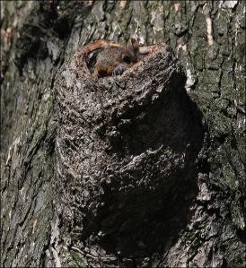 squirrel nest, cental park