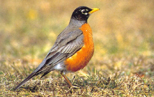 harbinger of spring,  Robin, March, spring