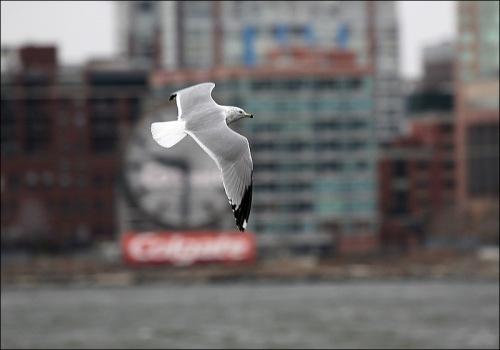 Lower Manhattan,seagull, sea gull