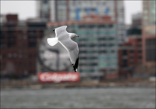 Lower Manhattan,seagull, sea gull