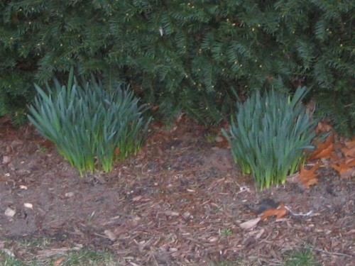 Daffodils, Ocean Grove, La Vie en Rose,March, spring