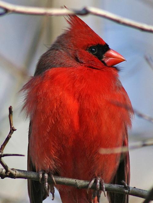 central park, New York city, close up of a cardinal