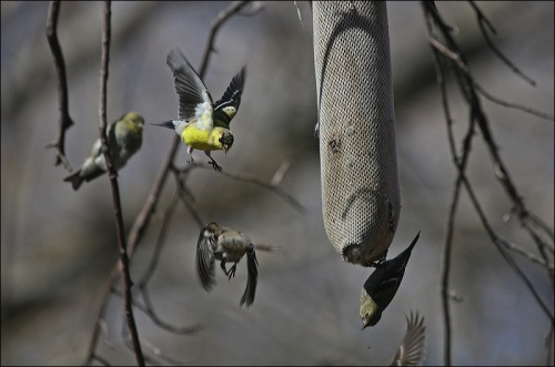 Central Park, Finches, Gold Finches,