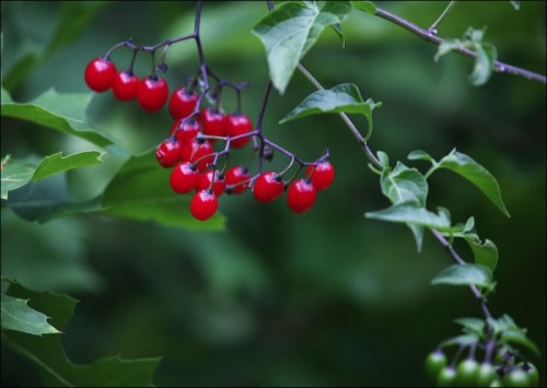 central park, holly, red berries