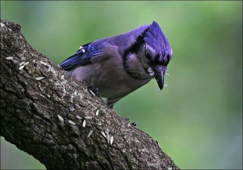 Blue Jay, termites, central park
