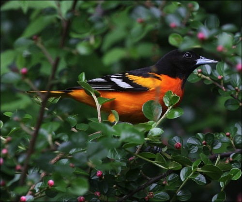 central park, new york city, baltimore oriole