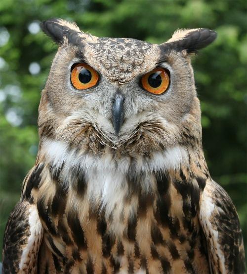 Eagel Owl, central park, new york city