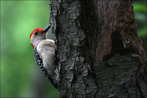 red bellied woopecker, central park