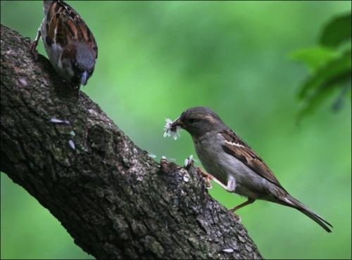 sparrow, termites, central park