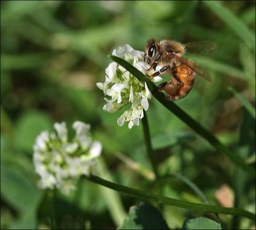 bumble bee, honey bee