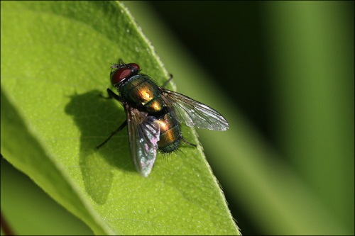 garbage fly, green headed fly