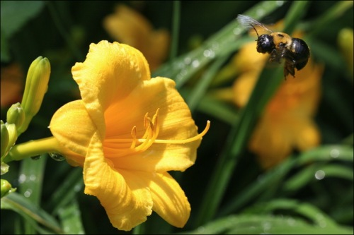 bumble bee, honey bee, Shakespeare Gardens, Central Park, NYC
