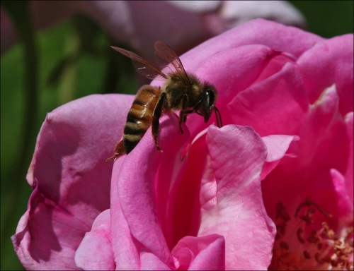 hornet, bumble bee, pink rose, Central Park, Conservatory Gardens
