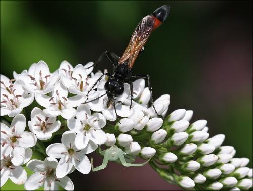 spider, wasp