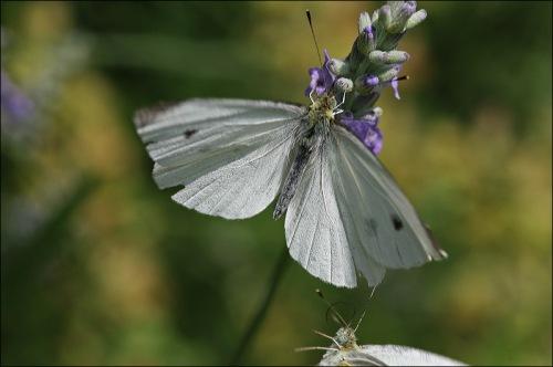 Cabbage moth,
