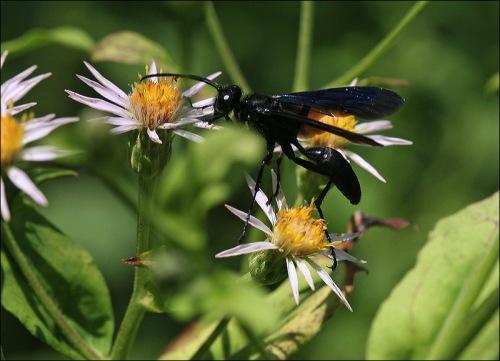 Black wasp, daisies