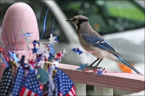 Blue Jay, Fourth of July